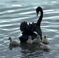 black-swans.jpeg